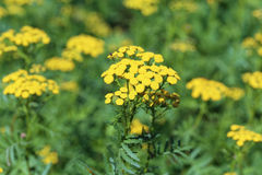 Tansy Royalty Free Stock Photos