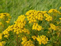 Tansy, vulgare de Tanacetum, avec l'inflorescence jaune rayonnante Photos stock