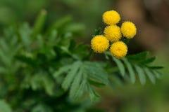 Tansy (vulgare del Tanacetum) fotografie stock