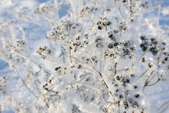 Tansy in winter Stock Photos