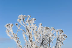 Tansy in winter Stock Images