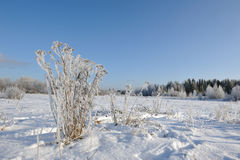 Tansy in winter Stock Photography
