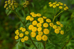 Tansy (Tanacetum vulgare), Royalty Free Stock Photos