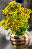 Tansy yellow flowers. Man holds tansy yellow flowers royalty free stock photography