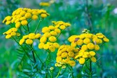 Tansyblume auf grünem natürlichem Hintergrund Stockfoto