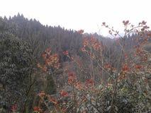 Tant d'arbres sur la montagne xiling de neige photos libres de droits
