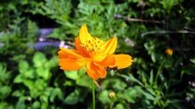 Tante auf orange Farbblume Lizenzfreies Stockfoto