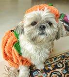 Shih Tzu celebrating Halloween royalty free stock photography