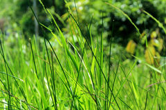 Tanyakan pada rumput yang bergoyang. Greeny tall grass Royalty Free Stock Photos