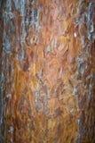 tanyosho-pine-bark Royalty Free Stock Photography