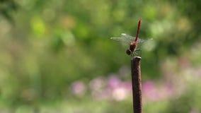 Tanz von Libellen Eine Libelle wirft auf einem Stiel auf stock video footage