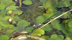 Tanz von Libellen Libelle, die in der Nähe von den unter Haltung des Dnepr-Flusses einkreist stock footage