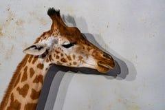 Tanzania żyrafy zakończenie w górę portreta odizolowywającego na bielu obrazy stock