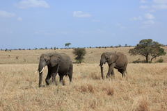 Tanzania , Africa, Wildlife. Nature Africa national parks, wildlife, outdoor Royalty Free Stock Photography