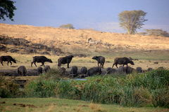 Tanzania , Africa, Wildlife. Nature Africa national parks, wildlife, outdoor Royalty Free Stock Image