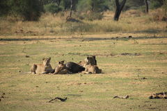 Tanzania , Africa, Wildlife. Nature Africa national parks, wildlife, outdoor Royalty Free Stock Images