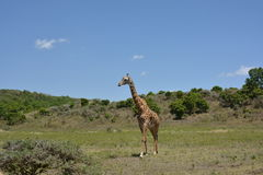 Tanzania , Africa, Wildlife Stock Photo