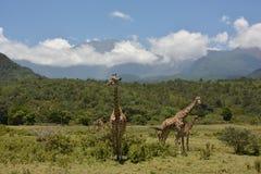 Tanzania , Africa, Wildlife Stock Images