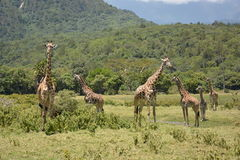 Tanzania , Africa, Wildlife Stock Photos