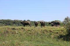 Tanzania , Africa, Wildlife Royalty Free Stock Image