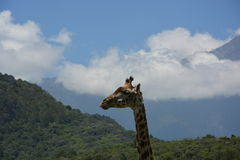 Tanzania , Africa, Wildlife Royalty Free Stock Photo