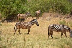Tanzania Afrika, djurliv Arkivfoto