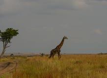 Tanzania. Elephant Safari Park Kenya Africa Masai wild animals zebra giraffe Stock Images