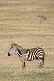 tanzania för africa kraterngorongoro sebra Arkivbild