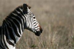 tanzania för africa kraterngorongoro sebra Arkivbilder