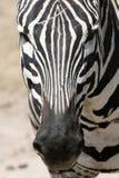 tanzania för africa kraterngorongoro sebra Arkivfoto