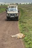 Jeep safari in Africa, travelers photographed lion. TANZANIA, NGORONGORO CONSERVATION AREA - January 2017: Jeep safari in Africa, travelers, tourists Stock Image