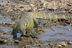 Tanzania Nile Monitor Varanus niloticus near river Stock Photo