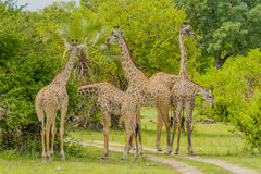 Tanzania - Selous Game Reserve. Group of eating giraffes while standing on the road in Selous Game Reserve in Southern Tanzania stock image