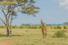 Tanzania - Serengeti National Park Royalty Free Stock Photography