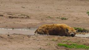 Tanzaniaanse Bevlekte Hyena in Ngorongoro stock footage