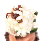 The Tanzanian Bark Scorpion on Hyacinth fragrant flowers. Stock Images