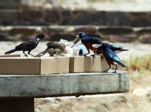 Tanzanian birds Royalty Free Stock Photography