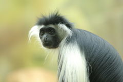 Tanzanian black-and-white colobus Stock Images