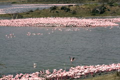Tanzanian Flamingos royalty free stock images