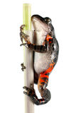 Tanzanian Tiger Leg Frog Royalty Free Stock Images
