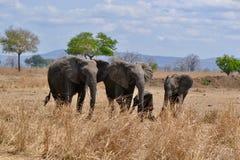 Tanzanienne del savane del la de los dans de éléphants del ` de Famille d imagenes de archivo