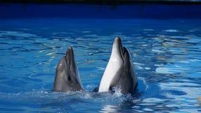 Tanzen mit zwei Delphinen Stockbilder