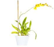 Tanzen-Orchidee (Oncidium) Stockfotografie