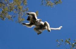 Tanzen Sifaka im Flug auf Hintergrund des blauen Himmels madagaskar Stockbilder