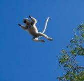 Tanzen Sifaka im Flug auf Hintergrund des blauen Himmels madagaskar Lizenzfreie Stockfotografie