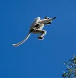 Tanzen Sifaka im Flug auf Hintergrund des blauen Himmels madagaskar Lizenzfreie Stockbilder