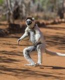 Tanzen Sifaka ist aus den Grund Lustige Abbildung madagaskar Stockbild