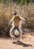 Tanzen Sifaka ist aus den Grund Lustige Abbildung madagaskar Stockfotos