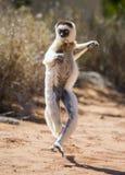 Tanzen Sifaka ist aus den Grund Lustige Abbildung madagaskar Stockfotografie