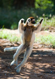 Tanzen Sifaka ist aus den Grund Lustige Abbildung madagaskar Lizenzfreies Stockbild